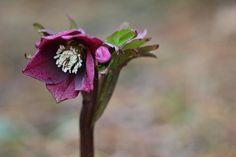 Helleborus x hybridus (Royal Heritage Strain)