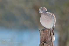 Eurasian collared dove by holger2061. @go4fotos