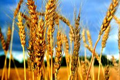 Unapproved GM Monsanto Wheat Found Growing In Oregon