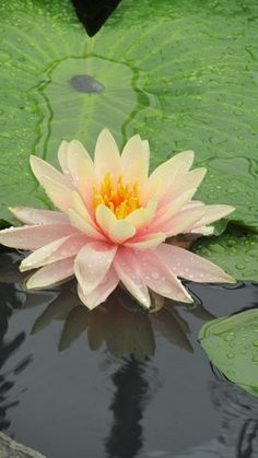 inner peace is the key Water Flowers, Water Plants, Water Garden, Amazing Flowers, Love Flowers, Lotus Flower Meaning, Lotus Plant, Rare Orchids, Asian Garden