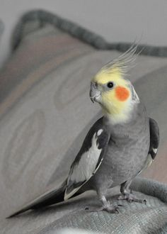 Cockatiel On Pillows