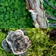 Elämän kiertokulun kontrastisuus#detailsofnature#woodland#polypore's #birchbark#finnishnature