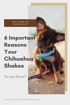 Do Chihuahuas naturally shake? #whydochihuahuas #chihuahuacare, #chihuahuaquestions, #chihuahuapuppies, #seniorchihuahua, #chihuahuadogs, #chihuahuamix, #chihuahuafacts, #chihuahualifestyle, #chihuahuaarticles, #chihuahuahelp, #chiwawa, #chihuahuaproblems, #chihuahuawebsite, #chihuahuabehavior #chi, #chihuahuastory, #littledogs, #tinydogs, #minidogs Chihuahua Facts, Did You Know, Behavior, Pets, Animals, Behance, Animales, Animaux, Animal