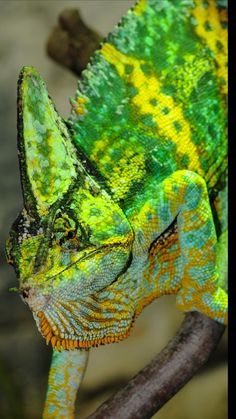 Free Pictures, Free Images, Chameleon Care, Healthy Pets, Happy Healthy, Les Reptiles, Love Your Pet, Tropical Animals, Chameleons