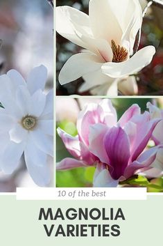 There is a magnolia tree for every garden, big or small. Find out which one will suit your garden best with our roundup of the top 10 best magnolia trees. Evergreen Magnolia, Magnolia Trees, Magnolia Flower, Garden Trees, Garden Plants, Trees For Front Yard, Mosquito Repelling Plants, Little Flowers, Flowering Trees