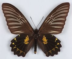 Butterfly, Troides amphrisus