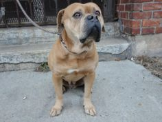 SAFE --- URGENT - Brooklyn Center   JO - A0989625   MALE, BROWN / WHITE, BULLDOG MIX, 5 yrs    STRAY - STRAY WAIT, NO HOLD Reason STRAY    Intake condition NONE Intake Date 01/15/2014, From NY 11413, DueOut Date 01/18/2014 Main Thread:  https://www.facebook.com/photo.php?fbid=742888859057329&set=a.742888805724001.1073742867.152876678058553&type=3&theater