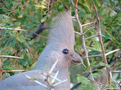 No son mascotas, ni nacieron para estar en una jaula.  Queremos ver ver a los turacos así, en su medio natural, como este simpático turaco unicolor que os presentamos hoy: http://www.naturalezaavistadepajaro.com/turaco-unicolor-corythaixoides-concolor/