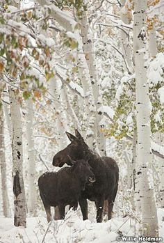 Moose in birches