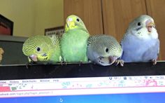 """""""Elvis the Budgie - With my brother Hope and sisters Dolly & Tiny"""""""