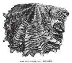 a fine line drawing of an oyster - courtesy od Shutterstock!