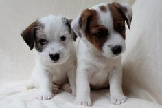 Jack Rassel Terrier puppies Kennel FCI ELPIS STAR Puppy Kennel, Terrier Puppies, Cute Puppies, Stars, Dogs, Animals, Animales, Animaux, Pet Dogs
