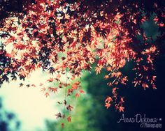 Nature Photography - Autumn Leaves - 8 x 10 photo by annadykema via Etsy Fine Art Photography, Nature Photography, October Country, Japanese Maple, Female Photographers, Leaf Prints, Art Prints, Nature Wallpaper, Artist Canvas