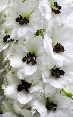 173 best white flowers images on pinterest white flowers botanical gallery white flowersbeautiful mightylinksfo
