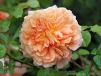 Janet Inada™ parents Abraham Darby  Westerland, Very fragrant rich citrus, repeat bloom, size 5. shrub/climber 6 to 8'.