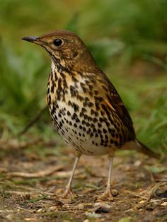 Thrush - Song.  One of my favourite birds.  Sadly there are fewer of them these days.