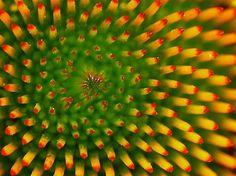 Fibinocci in flower