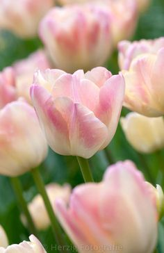 """Tulipa """"Creme Upstar"""" - Tulpe"""