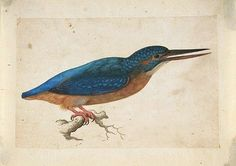 Kingfisher on a Branch by Jacques Le Moyne de Morgues.   Jacques le Moyne de Morgues (c. 1533–1588) was a French artist and member of Jean Ribault's expedition to the New World. Le Moyne ended his career as a highly regarded botanical artist in Elizabethan London.