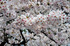 Ueno Park, Sakura by shibuya246, via Flickr