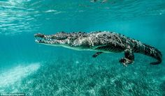 Adventurous snorkeller and photographer, Ricardo Castillo, aged was snorkelling in the sea off Cuba when he spotted - and snapped photos of - saltwater crocodiles swimming alongside him. Saltwater Crocodile, Dangerous Animals, Animals Of The World, Under The Sea, Cover Photos, Animal Photography, Underwater, Cute Animals, Wild Animals