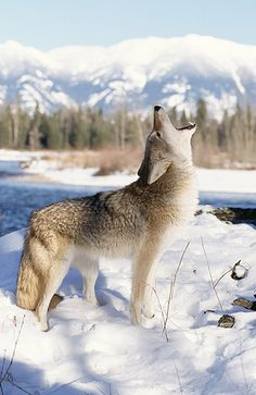 Coyote Howling, Winter, Montana
