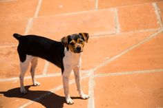 Because of its need for human interest and willingness to learn, the Brazilian Terrier generally responds well to basic training and commands.