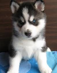 Pomsky - Pomeranian mixed with a husky! Could they get any cuter?!!