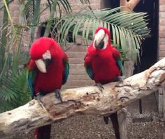 VIDEO: Watch Parrots Dancing To Rap Music - #Macaws Head Bobbing to Waka Flocka Flame - Funny!