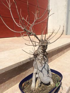 Ginseng ficus great page full of useful info bonsai - Ficus microcarpa cuidados ...