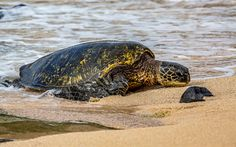 Download wallpapers large turtle, beach, sand, ocean, turtles