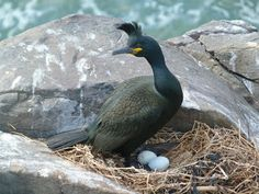 First shag eggs of the year discovered on the Farnes!