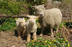 xx..tracy porter..poetic wanderlust...-Babydoll sheep, AKA miniature Southdowns, are the oldest-known purebred sheep in the world.