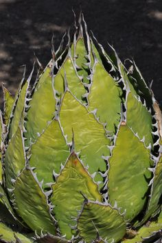 ruthbancroftgarden:  I love the way Agave horrida looks when it is a little water-stressed, since the leaves pull together and the wonderful teeth are on full display. This species comes from south of Mexico City in the state of Morelos. -Brian