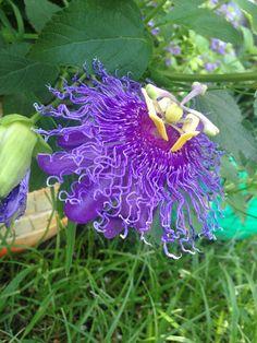 My backyard garden Passion flower in bloom!