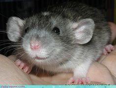 hey, little rattie!