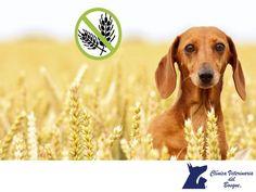 CLÍNICA VETERINARIA DEL BOSQUE. El gluten, es una glicoproteína presente en granos de cereales como trigo, avena, cebada o centeno. Aunque la mayoría de los perros toleran bien tanto la carne como productos vegetales, el trigo y otros granos, hay algunos pocos que no toleran bien el gluten. Son perros con intolerancia o sensibilidad a éste, siendo una patología que puede afectar a cualquier perro, sin embargo, hay razas más propensas a sufrirla como el Setter irlandés o el Samoyedo…