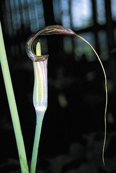 Arisaema consanguineum,buy Himalayan Cobra Lily for sale-Plant Delights Nursery, Inc.