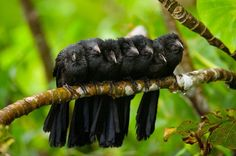 Crow chicks, uncredited
