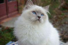chat sacre de birmanie Lilac point