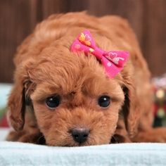 Find the perfect puppy for your family. From breed selection to training to long-term healthcare, PuppySpot will be your first and last puppy stop. Havapoo Puppies, Puppy Facts, Puppy Finder, Puppy Mills, Love At First Sight, First They Came, Puppies For Sale, Teddy Bear, Animals
