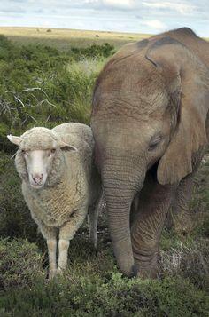 Elephant and sheep