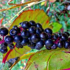Polk Berries Autumn Countryside