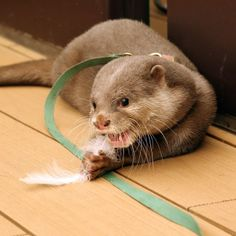 Little Otter Haku Plays with a Feather 2