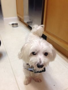 Check out Clooney's profile on AllPaws.com and help him get adopted! Clooney is an adorable Dog that needs a new home. https://www.allpaws.com/adopt-a-dog/maltese/1782162?social_ref=pinterest