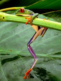 Red-Eyed Tree Frog    Photograph by Steve Winter, National Geographic    A red-eyed tree frog clings to a branch in Costa Rica.