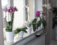 Meine Orchideen über der Heizung