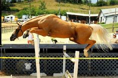 Love this stallion. This is Legacy In Gold and sadly he was recently exported to Jordan. He is a talented young stallion by the famous palomino stallion Glitter Please.