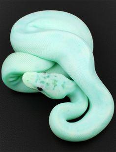blackkittenclan: vvaltdickney: 暴徒生活 - Ball Python, Ivory Spider phase