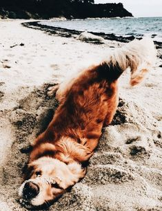 Everyone loves a Golden Retriever! They are beautiful, loving and exuberant dog breeds. if you love them, here are some fun Golden Retrievers facts that celebrates these pups. Cute Baby Animals, Animals And Pets, Funny Animals, Wild Animals, Happy Animals, Funny Cats, Golden Retriever Mix, Retriever Dog, Baby Golden Retrievers